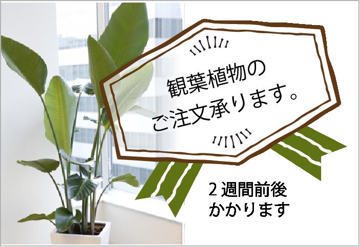 観葉植物のご注文承ります。
